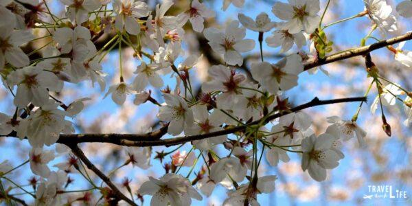 Enjoy Spring in South Korea