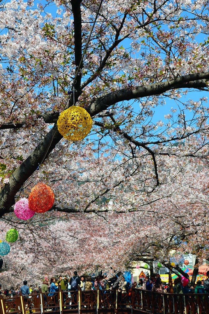 Jinhae Cherry Blossom Festival Korea