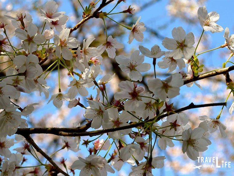 Seasons in Korea Spring Jinhae Cherry Blossom Festival