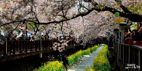 South Korea Jinhae Cherry Blossom Festival Image