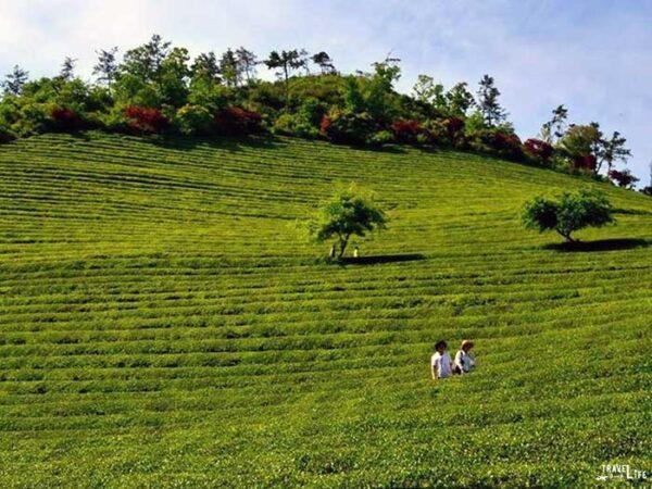 Spring Things to Do in South Korea Boseong Green Tea Festival Image