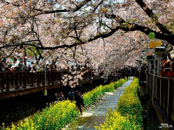 Spring Things to Do in South Korea Jinhae Cherry Blossom Festival Image