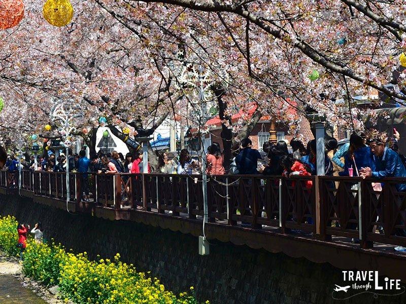 Spring in Korea Jinhae Cherry Blossom Festival