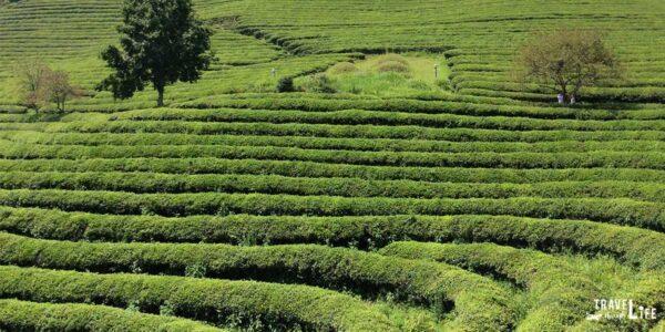 South Korea Boseong Green Tea Plantation Travel Guide