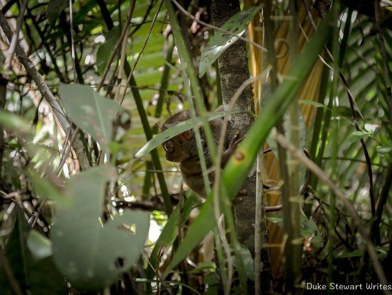 Tarsier on the hunt