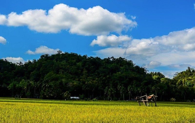 The Philippines, Bohol - Rice Farm