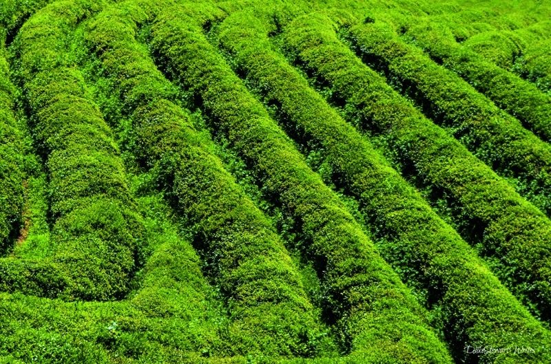 Life through Travel Writing Boseong Green Tea Fields