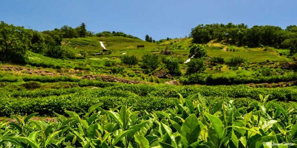 Visiting Hadong South Korea for Perfect Sunday Green Tea
