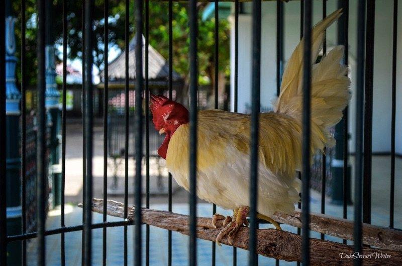 Chickens found all around the Kraton in Yogyakarta, Indonesia