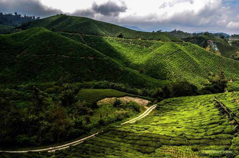 More sun and shade on the Boh Tea Plantation in the Cameron Highlands, Malaysia