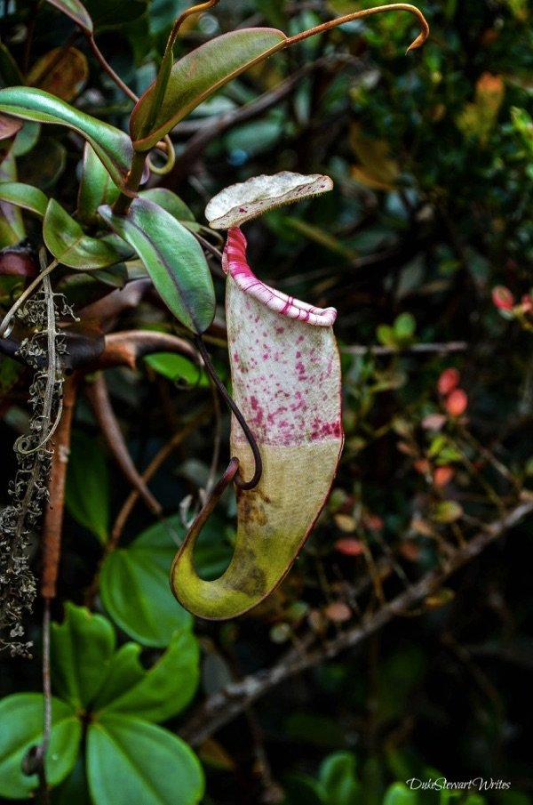 Pitcher Plant or Monkey's Cup inside Cameron Highlands Mossy Green Forest
