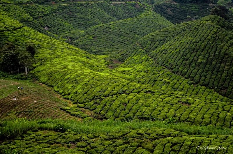 View from above the Boh Tea Plantation at the Cameron Highlands, Malaysia