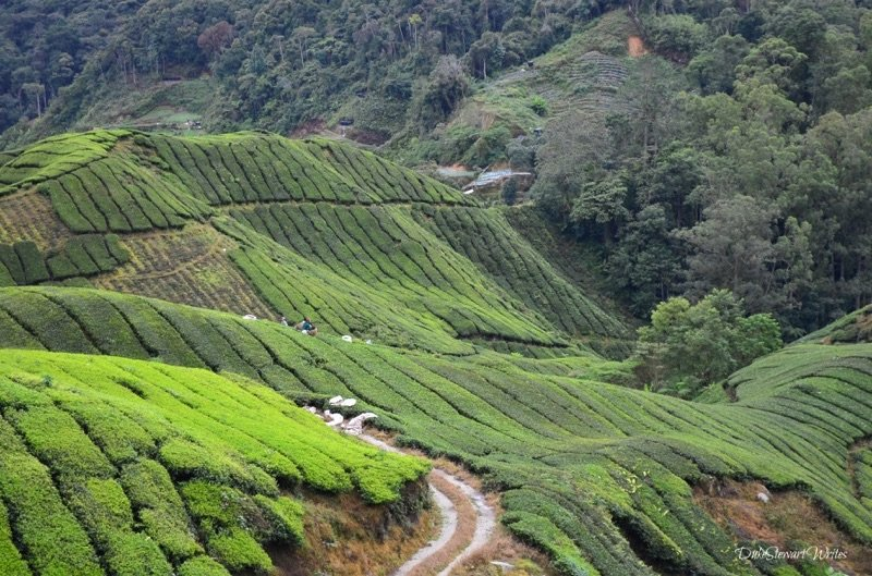 View of the Boh Tea Plantation in Cameron Highlands, Malaysia