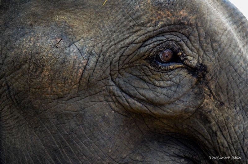Elephant Eye In Thailand