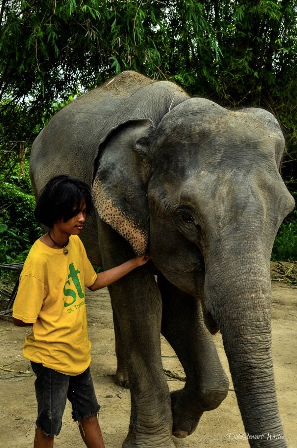 Elephant with permanently bent foot due to riding accident
