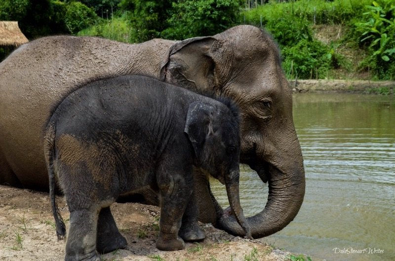 Mama and Baby ready for bathtime at the Elephant Retirement Park near Chiang Mai, Thailand