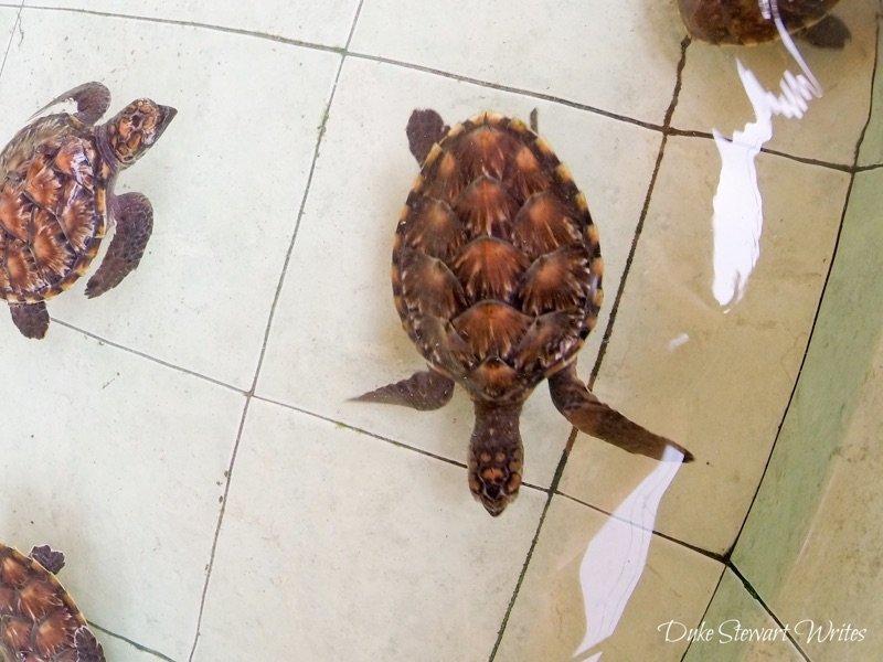 Baby Turtles on Gili Meno, Indonesia