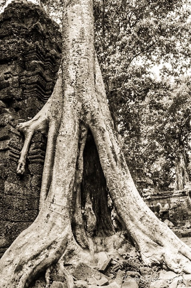 Ta Prohm overgrown tree
