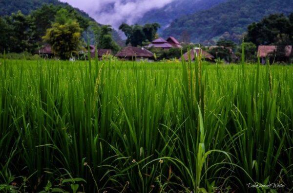 Thailand Pai Rice Fields