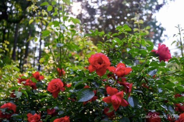 Duke Gardens Roses