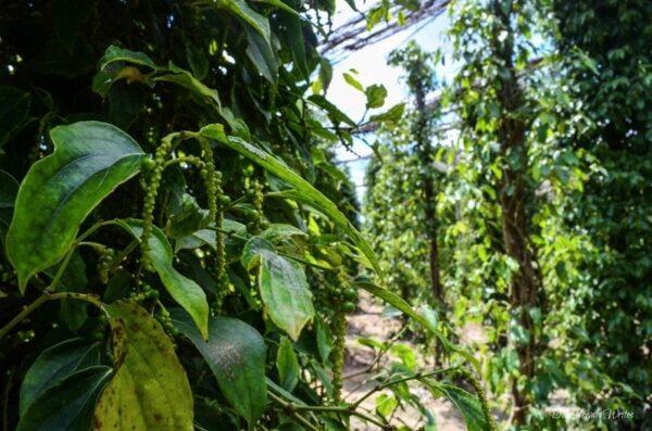 Kampot Pepper Farm by Duke Stewart