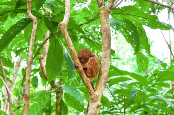 Philippine Tarsier Photo by Bob Boles from the Traveling Fool