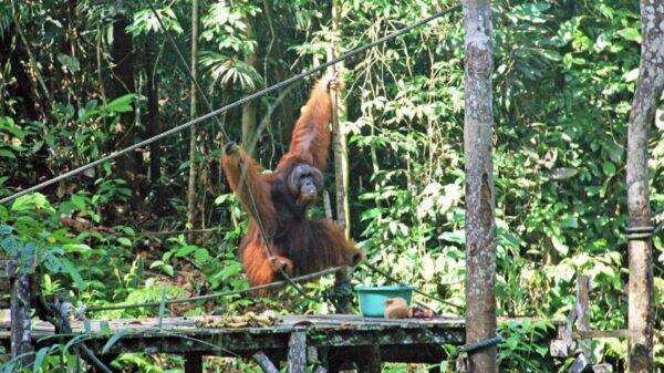 Ramble and Wander - Semenggoh Wildlife Centre