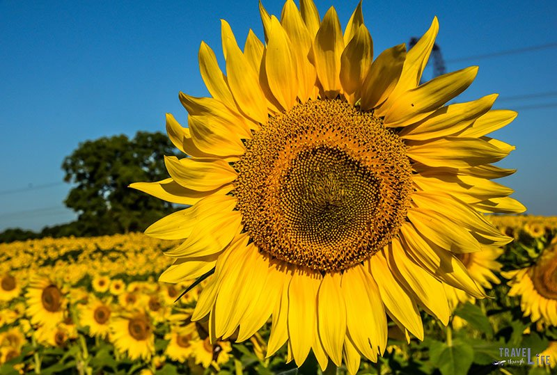 Massive Sunflower Raleigh North Carolina