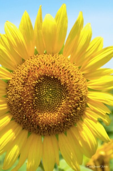 Raleigh Neuse River Trail Very Happy Sunflower