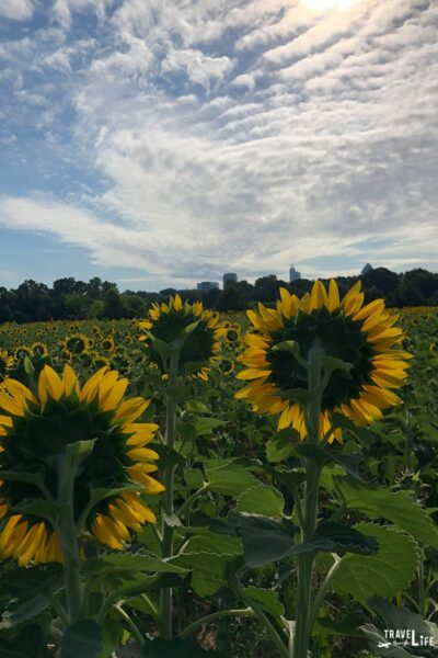 Raleigh Sunflower Field Dorothea Dix Park