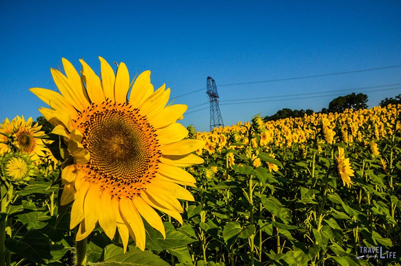 Raleigh Sunflowers in 2016 on the Neuse River Greenway
