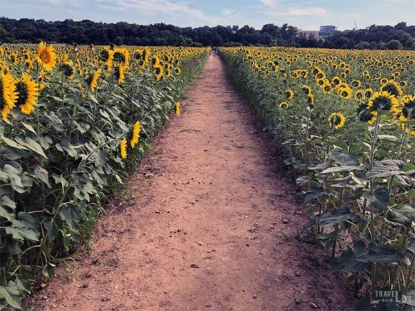 Raleigh Sunflower Field Travel Guide Image