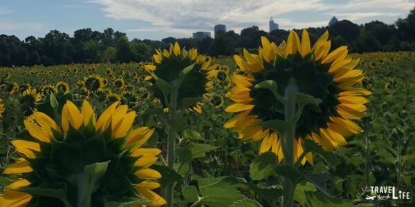 Raleigh Sunflowers Dorothea Dix Park North Carolina