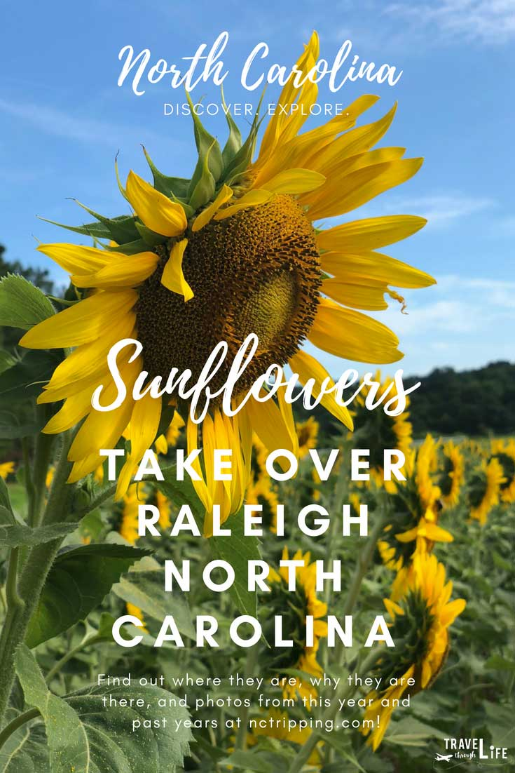 Sunflower Field Near Raleigh NC