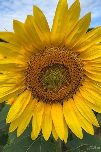 Things to Do in Raleigh NC Dorothea Dix Park Sunflowers in Summer Image