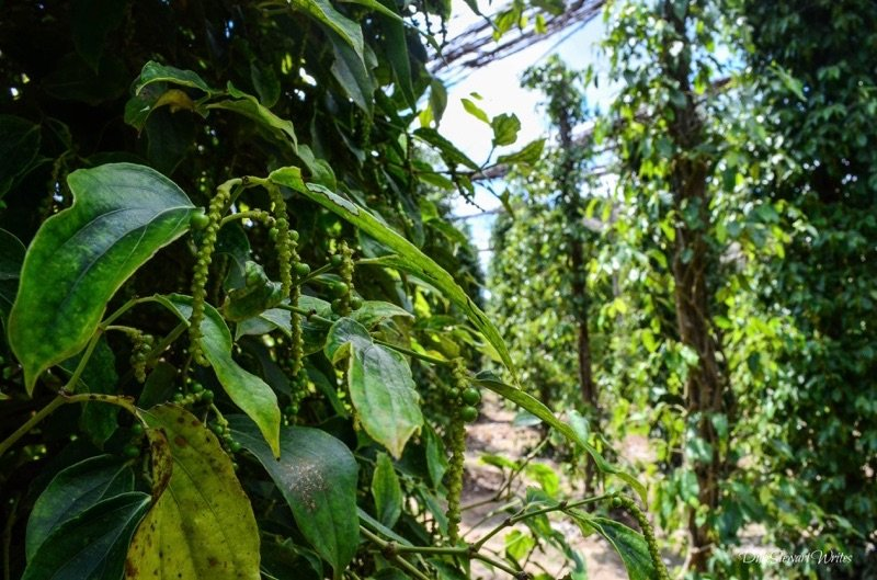 cambodia-kampot-pepper-vines