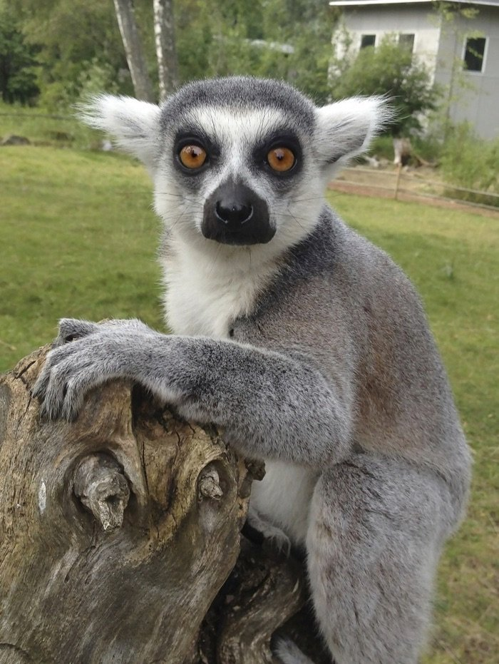 Lemur in Sweden