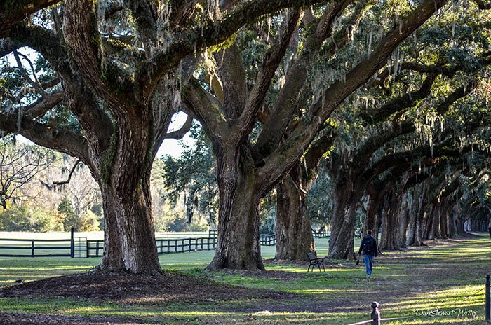 Charleston South Carolina Oaks