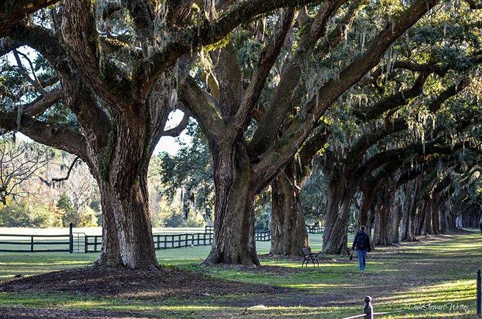 Charleston South Carolina Oaks