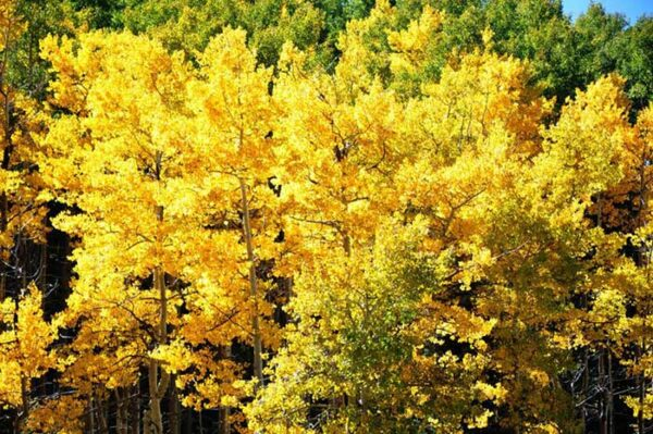 Santa Fe US in Fall Golden aspens photo by Steve Collins