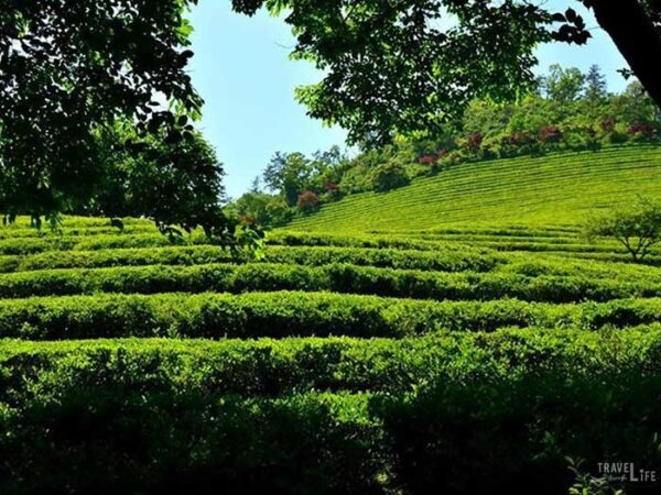South Korea Road Trip Travel Guide Boseong Green Tea Plantation Image