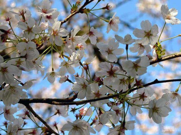 Jinhae Cherry Blossom Festival Cherry Blossoms Image