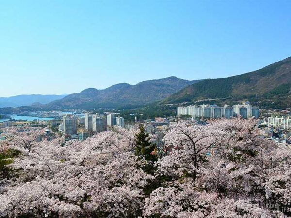 Jinhae Cherry Blossom Festival South Korea Around the Festival Image