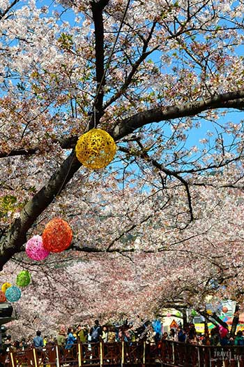 Jinhae Cherry Blossom Festival South Korea Blossoms Image