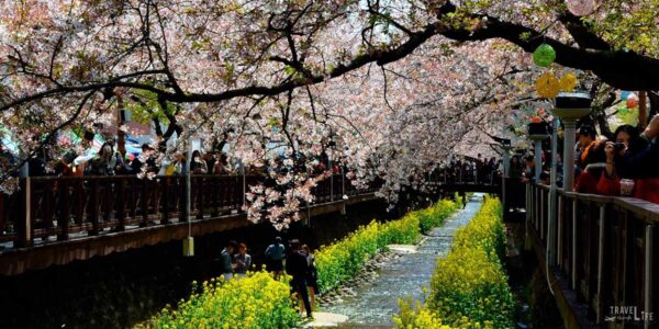 Jinhae Cherry Blossom Festival South Korea Travel Guide Featured Image