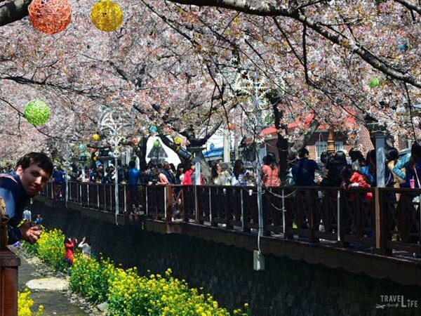 Jinhae Cherry Blossom Festival South Korea Yeojwacheon Stream Image