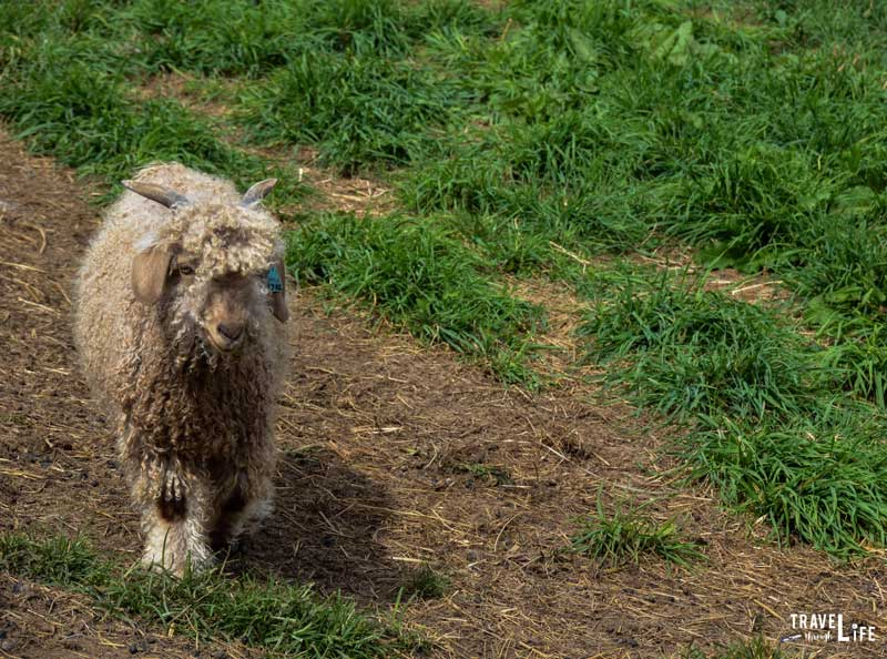 Apple Hill Farm Angora Goat
