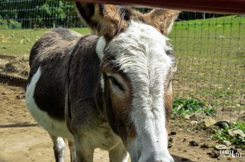 Apple Hill Farm Donkey