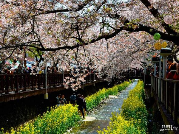 Travel to South Korea Things to Know Jinhae Cherry Blossom Festival Image